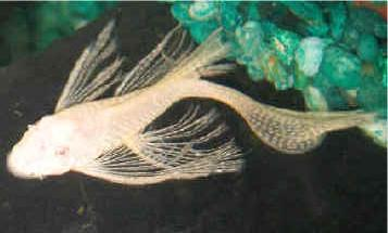 Albino version of the Veiltail Bristlenose Pleco.