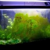 Green Algae growth on aquarium glass.