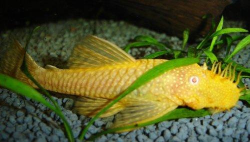 ABn2 Albino Gold Bristlenose Pleco: