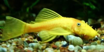 YlBnBk – Black-eyed Yellow Bristlenose (Ancistrus sp. L144):