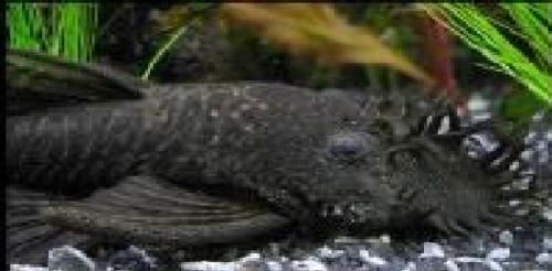 BkBn, Black Bristlenose Pleco